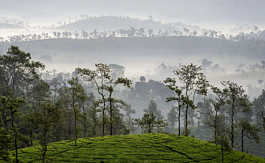 Tea (Camellia sinensis) plantation, scattered trees silhouetted on hills in background, in early morning mist. Carolyn Tea Estate, Mango Range, The Nilgiris, Tamil Nadu, India. 2014.