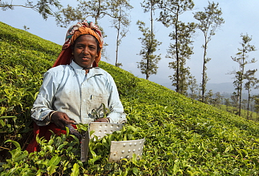 Woman harvesting Tea (Camellia sinensis) with leaf plucking shears, on plantation. Carolyn Tea Estate, Mango Range, The Nilgiris, Tamil Nadu, India. 2014.