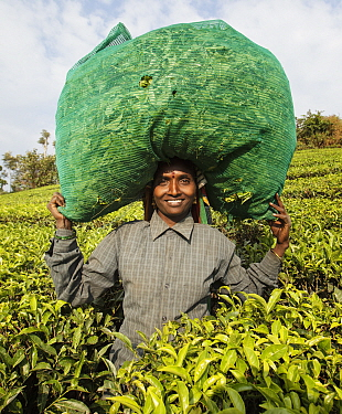 Woman carrying bag of Tea (Camellia sinensis) leaves in sack on head. Carolyn Tea Estate, Mango Range, The Nilgiris, Tamil Nadu, India. 2014.