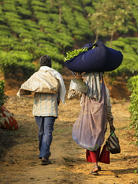 Tea plantation workers, man and woman carrying Tea (Camellia sinensis) leaf harvest. Carolyn Tea Estate, Mango Range, The Nilgiris, Tamil Nadu, India. 2014.