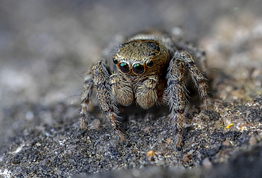 Jumping spider (Evarcha falcata). Skipwith Common National Nature Reserve, North Yorkshire, England, UK. May. Focus stacked image.