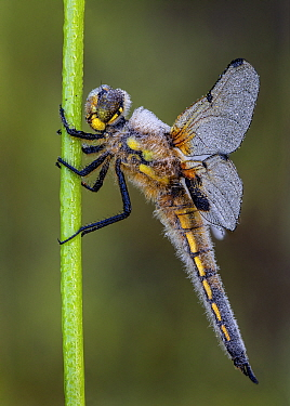 Four-spotted chaser (Libellula quadrimaculata) resting on stem, covered in early morning dew. Skipwith Common National Nature Reserve, North Yorkshire, England, UK. May. Focus stacked image.