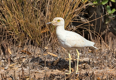 Senegal thicknee (Burhinus senegalensis), leucistic. Gambia, Africa.