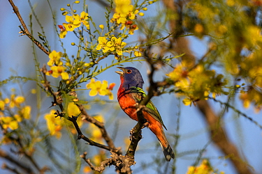 Painted bunting (Passerina ciris) male singing, perched in tree amongst yellow flowers. Texas, USA. April.