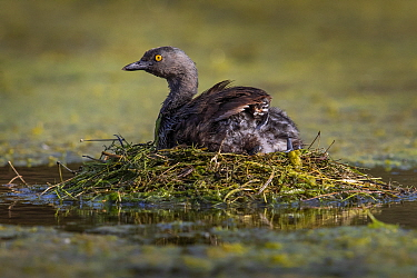 Least grebe (Tachybaptus dominicus) sitting on nest, chick sheltering under wing. Texas, USA. July.