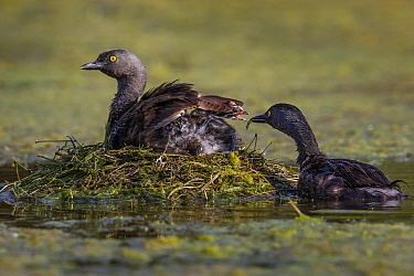 Least grebe (Tachybaptus dominicus) sitting on nest whilst other parent feeds chick. Texas, USA. July.