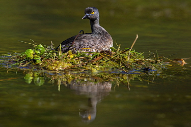 Least grebe (Tachybaptus dominicus) sitting on nest raised above water. Texas, USA. April.