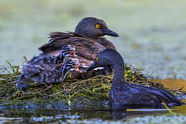 Least grebe (Tachybaptus dominicus) family, adult feeding chicks whilst other sits on nest. Texas, USA. July.