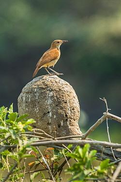 Rufous hornero (Furnarius rufus) on top of mud nest. Pantanal, Mato Grosso, Brazil.