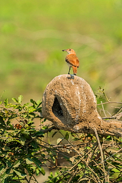 Rufous hornero (Furnarius rufus) with prey in beak, on top of mud nest. Pantanal, Mato Grosso, Brazil.