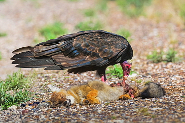 Turkey vulture (Cathartes aura) scavenging on Patagonian fox (Lycalopex griseus) carcass. Chubut, Patagonia, Argentina. April.