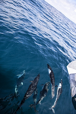 Northern right whale dolphin (Lissodelphis borealis) pod, viewed from above. California, USA.
