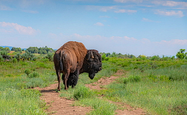American bison (Bison bison) standing in grassland. Near Chama. New Mexico, USA. June 2019.