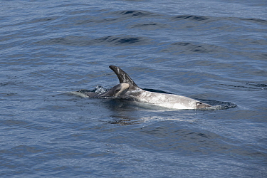 Risso's dolphin (Grampus griseus) female and calf aged two days, swimming at surface. California, USA.
