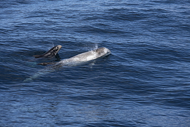 Risso's dolphin (Grampus griseus) female and calf aged two days, swimming at surface, exhaling. California, USA.
