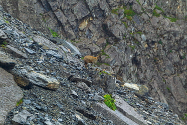 Alpine musk deer (Moschus chrysogaster) on scree slope. Jiudingshan Nature Reserve, Mao Country, Sichuan Province, China. July.