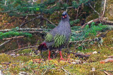 Blood pheasant (Ithaginis cruentus). Mount Luoji Nature Reserve, Sichuan Province, China. May.