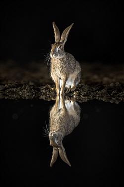 Scrub hare (Lepus saxatilis) sitting at edge of waterhole, reflected at night. Zimanga private game reserve, KwaZulu-Natal, South Africa.