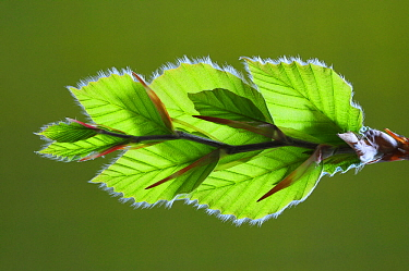 Beech (Fagus sylvatica), young leaves. Dorset, England, UK. May.