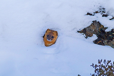Siberian weasel (Mustela sibirica), head poking out of burrow in snow. Jiudingshan Nature Reserve, Mao Country, Sichuan Province, China. November.