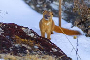 Siberian weasel (Mustela sibirica) standing behind rock, in snow. Jiudingshan Nature Reserve, Mao Country, Sichuan Province, China. November.