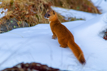 Siberian weasel (Mustela sibirica) standing in snow. Jiudingshan Nature Reserve, Mao Country, Sichuan Province, China. November.