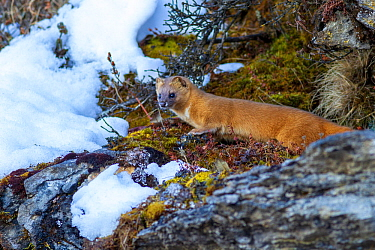 Siberian weasel (Mustela sibirica) in snow. Jiudingshan Nature Reserve, Mao Country, Sichuan Province, China. November.