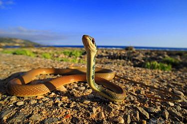 Dahl's whip snake (Platyceps najadum) with head up, ready to strike. Kardamyli, Peloponnese, Greece. August.