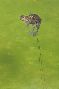 Sonoran desert toad (Incilius alvarius) pair mating, with trail of spawn in water. Arizona, USA.