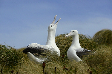 Southern royal albatross (Diomedea epomophora) pair in courtship display. Campbell Island, New Zealand. February.