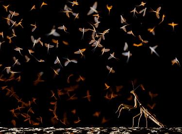 European mantis (Mantis religiosa) hunting swarming Pale burrower mayfly (Ephoron virgo), mayflies recently hatched. Tudela, La Ribera de Navarra, Navarre, Spain. August.