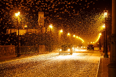 Pale burrower mayfly (Ephoron virgo), swarming in the millions on street at night, appearing like snow. Mayflies recently hatched. Tudela, La Ribera de Navarra, Navarre, Spain. August 2019.