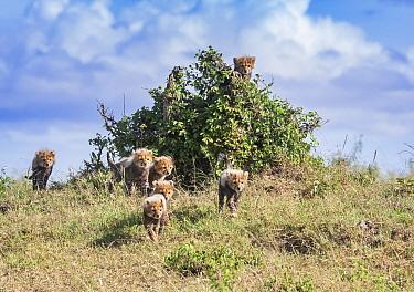 Seven cheetah cubs (Acinonyx jubatus), Masai Mara National Reserve, Kenya