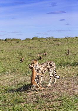 Female cheetah (Acinonyx jubatus) named Silgi (means 'bright future' in Swahili) with seven cubs, carrying prey. Masai Mara National Reserve, Kenya.