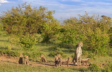 Female cheetah (Acinonyx jubatus) named Silgi (means 'bright future' in Swahili) walking with 7 cubs. Masai Mara National Reserve, Kenya