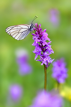 RF - Black veined white butterfly (Aporia crataegi) nectaring on Fragrant orchid (Gymnadenia conopsea). North Tyrol, Austria, June. (This image may be licensed either as rights managed or royalty free...