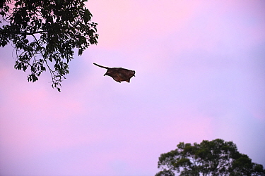 Red giant flying squirrel (Petaurista petaurista) gliding between trees at dusk. Sepilok, Sabah, Borneo, Malaysia. May.
