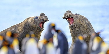 Southern elephant seal (Mirounga leonina), two males, equally matched with mouths open in aggression. Out of focus King penguin (Aptenodytes patagonicus) colony in background. Gold Harbour, South Geor...