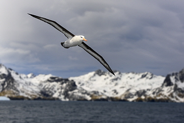 RF - Black-browed albatross (Thalassarche melanophris) in flight, snow covered coastline in background. Cooper Bay, South Georgia. November 2018. (This image may be licensed either as rights managed o...