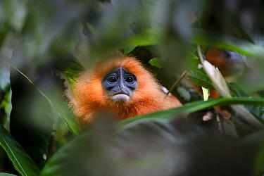 Orange backed red langur (Presbytis rubicunda chrysea) in rainforest understorey. Danum Valley, Sabah, Borneo, Malaysia.