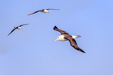 Black-browed albatross (Thalassarche melanophris), three in flight. South Atlantic Ocean between The Falklands and South Georgia. November.