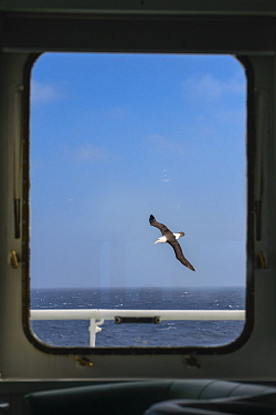 Black-browed albatross (Thalassarche melanophris) in flight over South Atlantic, viewed through ship's window. South Georgia.