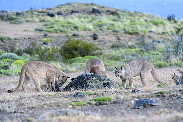 Puma (Puma concolor puma), three sub-adult cubs aged 12 to 13 months attempting to dig Armadillo out of burrow. Estancia Amarga, near Torres del Paine National Park, Patagonia, Chile. December.