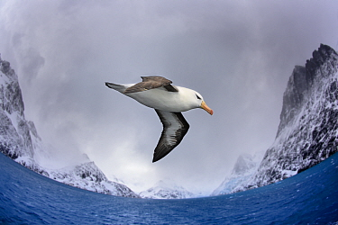 Black-browed albatross (Thalassarche melanophris) flying over South Atlantic. Cooper Bay, South Georgia. November.