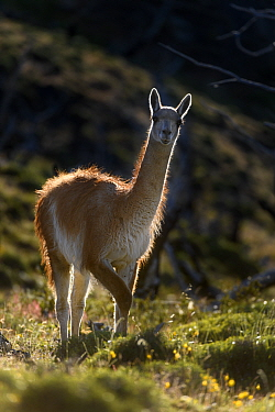 Guanaco (Lama guanicoe) standing on hillside, backlit. Torres del Paine National Park, Patagonia, Chile. December.