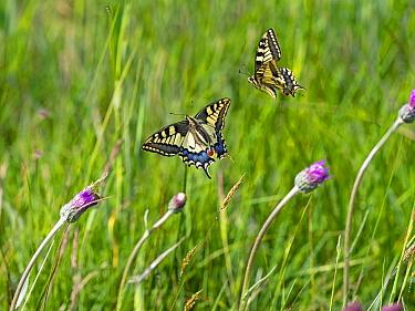 Swallowtail butterfly (Papilio machaon), two flying amongst Thistle flowers. Norfolk Broads, Norfolk, England, UK. June.