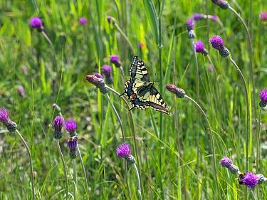 Swallowtail butterfly (Papilio machaon) flying amongst Thistle flowers. Norfolk Broads, Norfolk, England, UK. June.