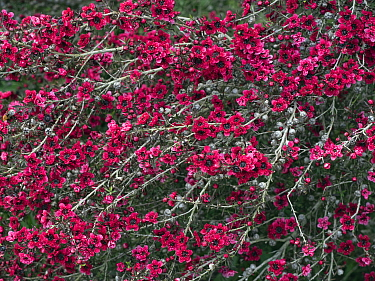 Manuka / New Zealand teatree 'Red Damask' (Leptospermum scoparium) in cultivation. Native to Australia and New Zealand.