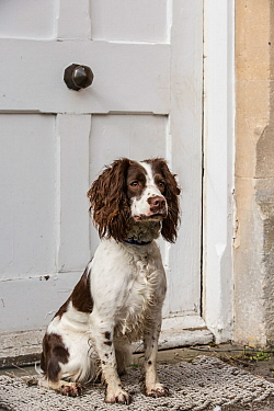 Young springer spaniel sitting on doorstep. Wiltshire, England, UK.