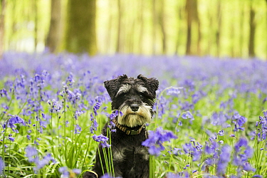 Miniature Schnauzer sitting in Bluebell (Hyacinthoides non-scripta) wood. Bedwyn Common, Savernake Forest SSSI, Wiltshire, England, UK. May.